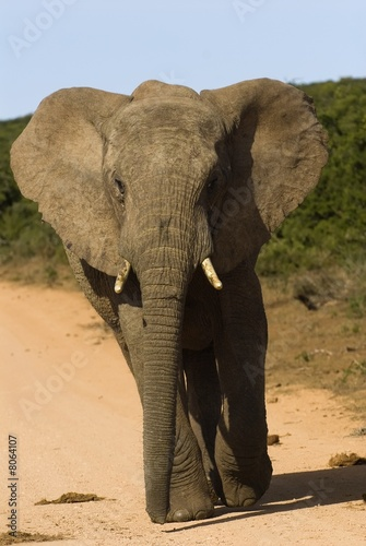 A youngish Elephant trying to be aggressive