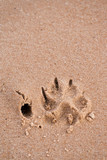 Dog paw print in sand poster
