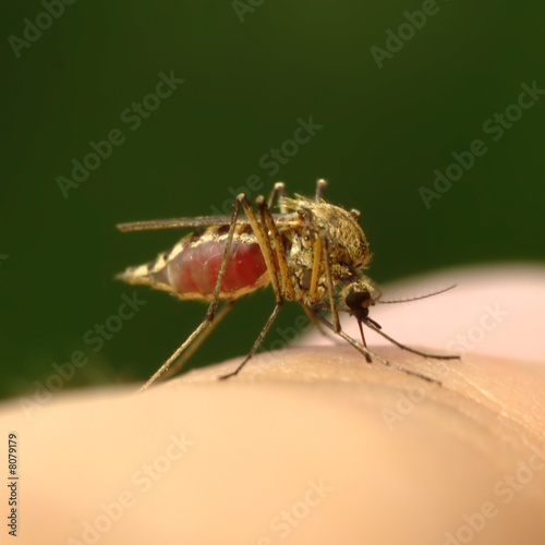 Feeding mosquito with human blood on finger