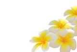 Fototapeta biały - tło - Kwiat
