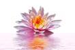 Pink lotus flower floating in water