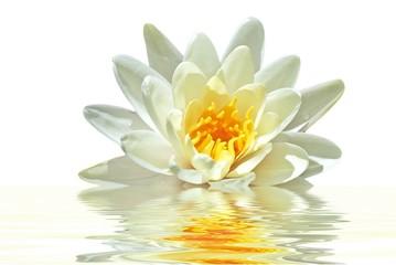 Lotus flower floating in water
