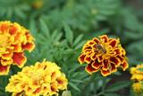 ape succhia il nettare di fiori gialli poster