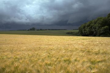 campagne,île de france : champ de blé