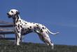 chien standard Dalmatien