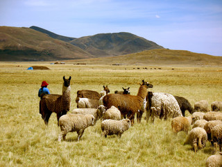 Llamas and Sheep