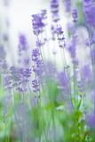 Fototapety Lavendel im Garten
