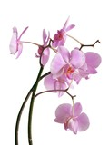 posy of lila orchid flowers poster