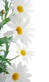 white spring marguerite - 8130550