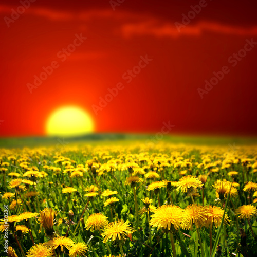 sunrise on dandelion field - 8132360