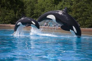 breaching orcas