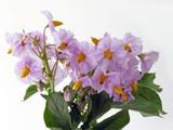 potato lila flowers poster