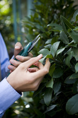 Man pruning a bay tree with secateurs