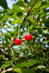 albero di ciliegie