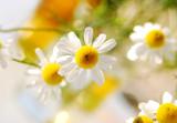 leuchtende kamillenblüten - 8162579