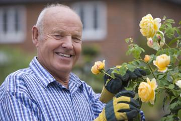 Senior man tending rose bush