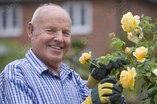 Senior man tending rose bush
