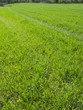 Green grass growing in field