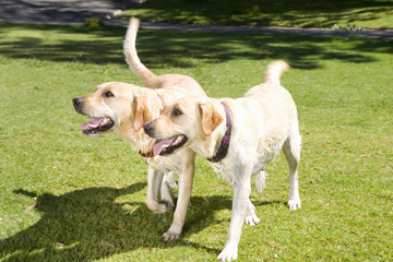 Two labradors on grass