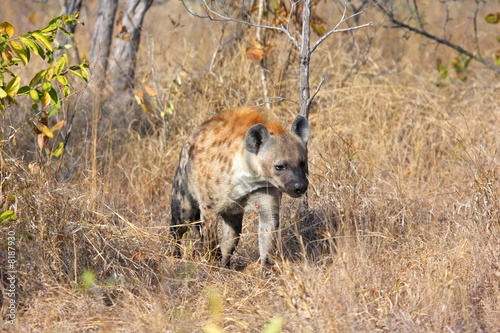 Deurstickers Hyena Hyena in Sabi Sands