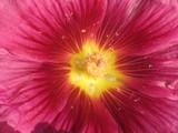 pollen et fleur poster