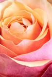 Single orange and pink rose