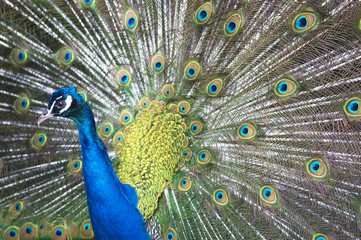 Beautiful Blue Peacock