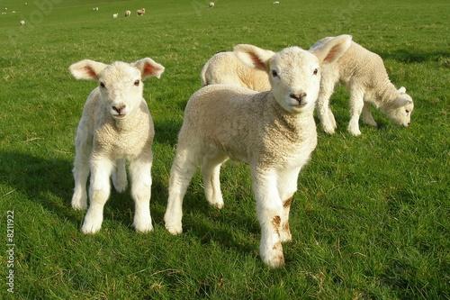 Papiers peints Sheep Spring Lambs