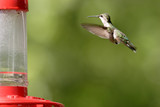 A rufous hummingbird hovers to the feeder. poster