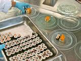 profikoch bereitet sushi tellerreihen,gastronomie,hygiene poster