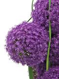 kugeldistel blumengesteck, echinops,violett,lila poster