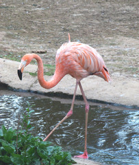 Red flamingo Phoenicopterus ruber on coast at a pond