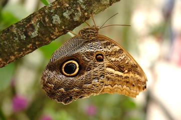 Owl butterfly (genus Caligo) sitting on a tree