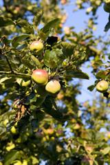 Apple tree, close-up