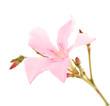 pink laurel flower over white