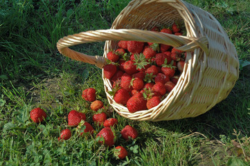 The harvest of the strawberries.