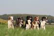 chien ensemble Border Collie