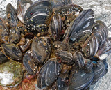Mussels 1 poster