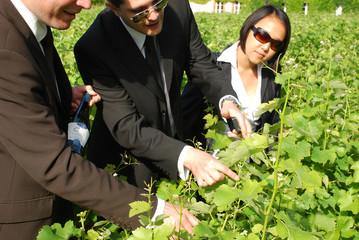 feuille de vigne - viticulture