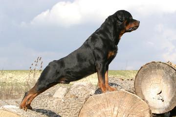 chien sur buche Rottweiller