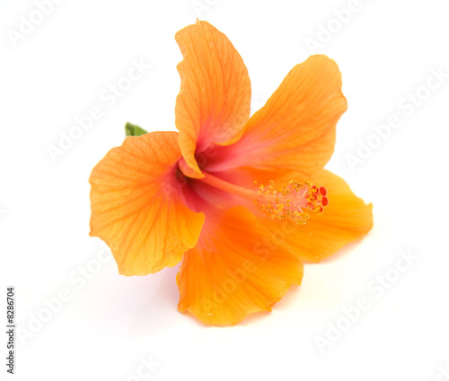 hibiscus on a white background