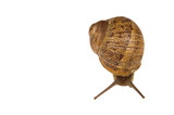 Common European brown Snail poster