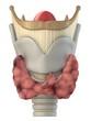 menschlicher kehlkopf