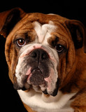 red brindle english bulldog female - 9 months old  poster