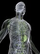 menschliches lymphsystem