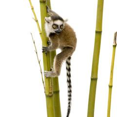Ring-tailed Lemur (6 weeks) - Lemur catta