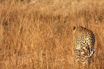 Leopard in the Sabi Sands