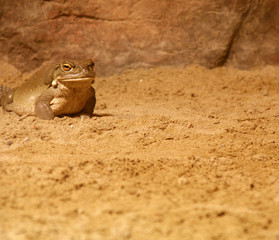 grumpy short and green toad or frog sitting plopped down