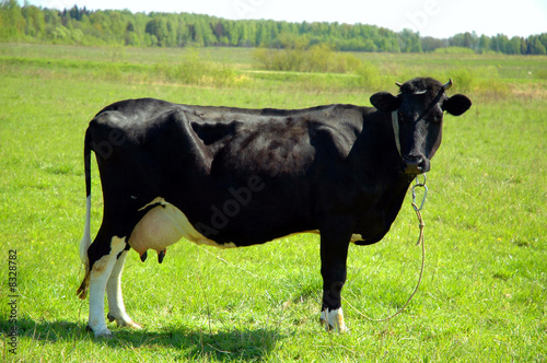 A black cow standing in a field and looking at the camera