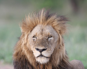 Male lion in the wind